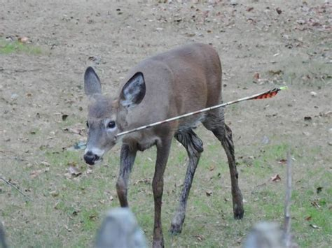 steve martin deer returns healed and happy ny daily news