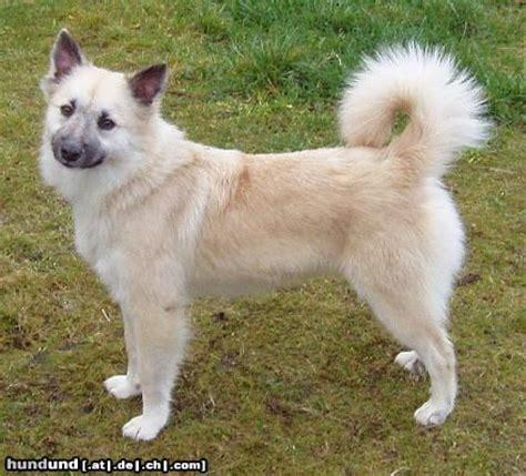 weicher stuhl bei welpen islandhund isl 228 nder spitz islandsk farehond friaar hund
