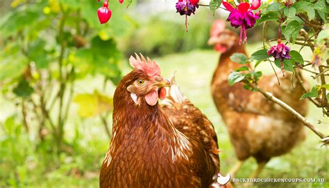 backyard laying chickens the best 28 images of backyard laying chickens the top 8