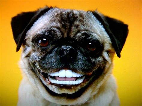 human pug 14 best images about animals with human teeth on smiling animals cat hair