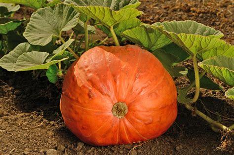 planting pumpkins for happy and pumpkins sanctuary soil