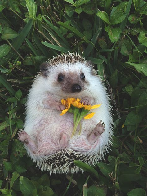 cute baby hedgehog smiling animals baby cute adorable mine like flowers smile