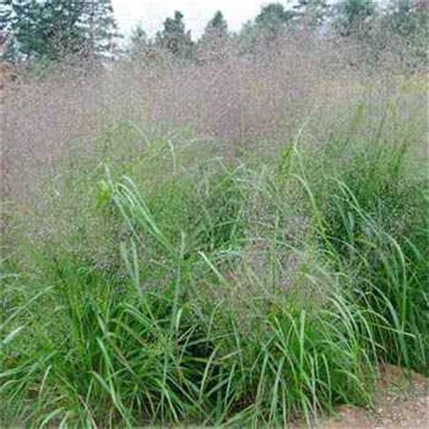 images of love grass love grass seed sand lovegrass ornamental grass seeds