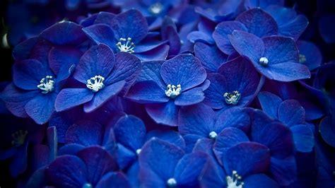 wallpaper of blue flowers blue hydrangea flowers hydrangea hd wallpapers download