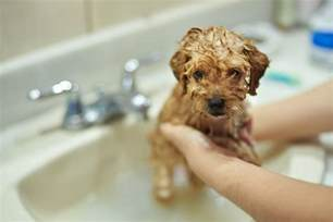 how to give puppy how to give your puppy or their bath pets4homes