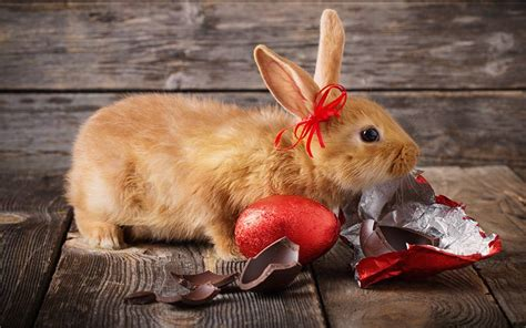 what to do if your eats chocolate home remedies can bunnies eat chocolate and what to do if he does