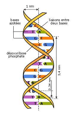 cadena de l adn cours de svt 2de universalit 233 de l adn maxicours