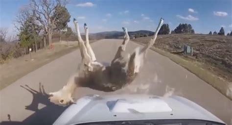 Deer Vs deer vs cars dash compilation
