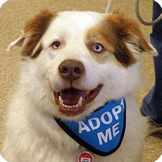 australian shepherd husky mix puppies for adoption 1000 ideas about australian shepherd husky on australian shepherd puppies
