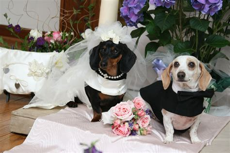 puppy wedding happy festival of numerical coincidence dogs cats in weddings 25 pics