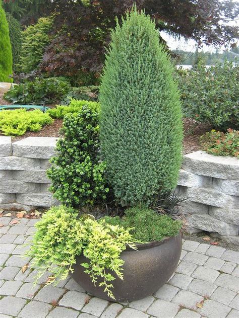 dwarf shrubs evergreen 38 best images about evergreens in containers on gardens container gardening and krakow