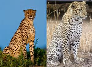 What Is The Difference Between A Leopard And A Jaguar 7 Pair Of Animals That Are Often Confused With Each Other