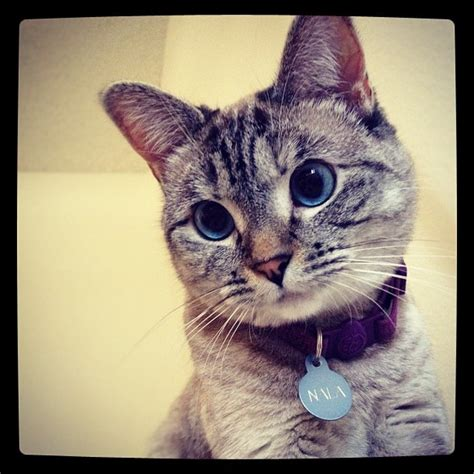 cat instagram nala siamese tabby mix so cute fluffy x pinterest