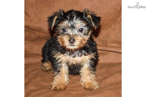 show pictures of yorkie dogs terrier yorkie puppy for sale near springfield missouri fd1b67b6