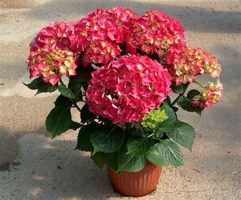 ortensie vaso piante da vaso hydrangea ortensia hydrangea anomala o