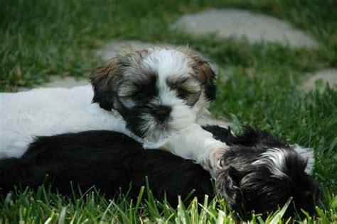 shih tzu heat shih tzu daily heat cycle of shih tzu