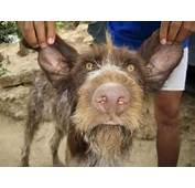 Anorak  Mugly Wins Ugliest Dog In The World Title Photos