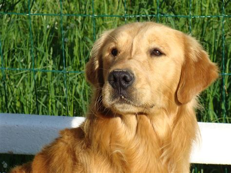 golden retriever and labrador retriever raza golden retriever fotos de perros golden retriever