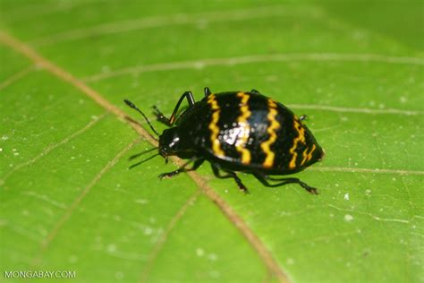 Tiny White Bugs In Bed Pleasing Fungus Beetle Family Erotylidae Zig Zag Pattern