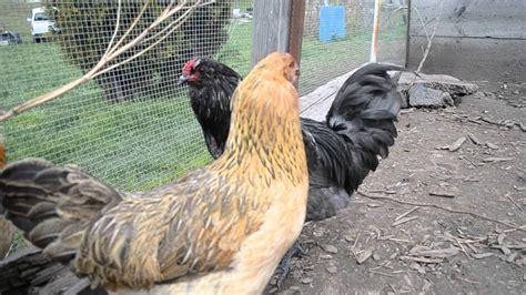 ameraucana rooster   flock youtube