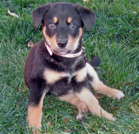 rottweiler shiba inu mix buffy the shiba inu mix puppies daily puppy