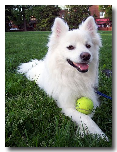 eskimo spitz puppy american eskimo reflection abc of spirit talk with carolyn page
