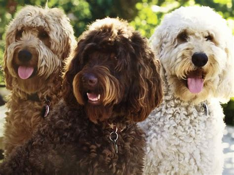goldendoodle club of america goldendoodle colors 28 images about goldendoodles