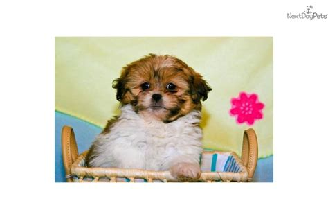 teacup shih tzu puppies for sale in ohio shih tzu puppy for sale near columbus ohio 9d01ead8 8a11