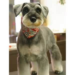 miniature schnauzer hair styles pictures mini schnauzer haircut schnauzer love pinterest a