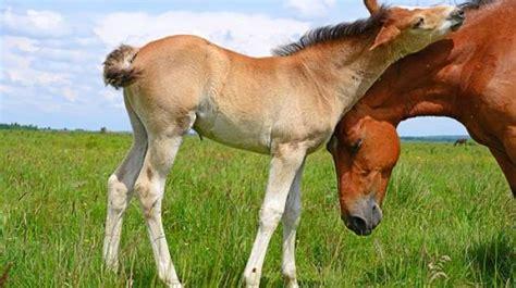 gambar ilustrasi kuda poni moa gambar