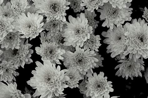fiore bianco fiore in bianco e nero foto immagini piante fiori e