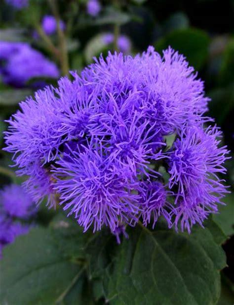 fiori color indaco viola su nonsoloimmagini