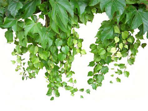 ist efeu winterhart geeignete kletterpflanzen f 252 r den balkon paradisi de