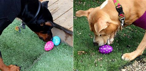 easter breaks with dogs rescue holds the cutest easter egg hunt for rescue dogs