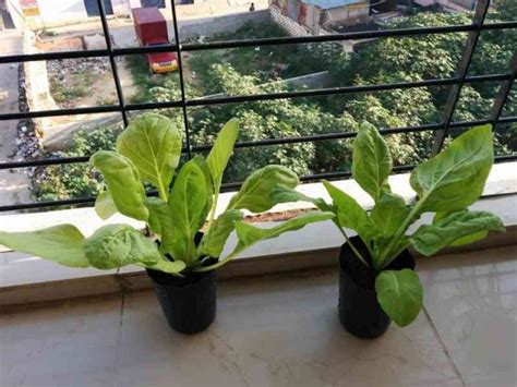 swiss chard container gardening growing swiss chard in your garden gardening