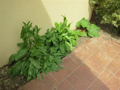 Planter De La Rhubarbe by Planter De La Rhubarbe Planter De La Rhubarbe With