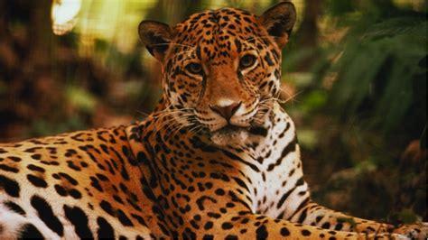 imagenes de animales jaguar mam 237 feros mexicanos en peligro de extinci 243 n roxana reyes