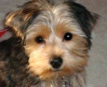 how to cut hair for yorkie poos 79 best images about yorkie poo love on pinterest