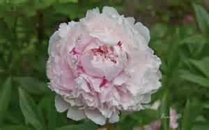 White Peony Flower - joanies garden flower images photo gallery