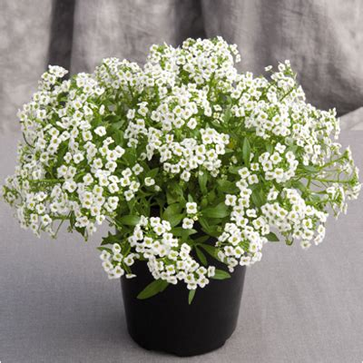 buy alyssum white plant   nursery   plants  lowest price