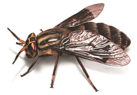 loads of flies in my attic deer flies how to identify get rid of deer fly problems