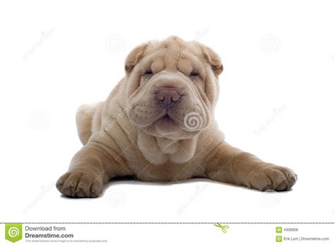 free shar pei puppies shar pei puppy stock photo image of sharpei background 4306906