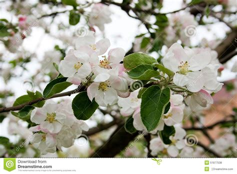 apple tree in bloom in spring stock photo image 51877538