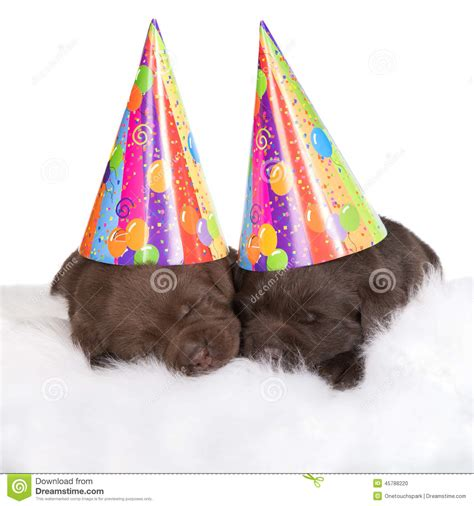 puppies in hats two brown puppies in hats stock photo image 45788220