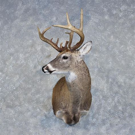 Home Decor Antlers by Whitetail Deer Mount For Sale 11895 The Taxidermy Store