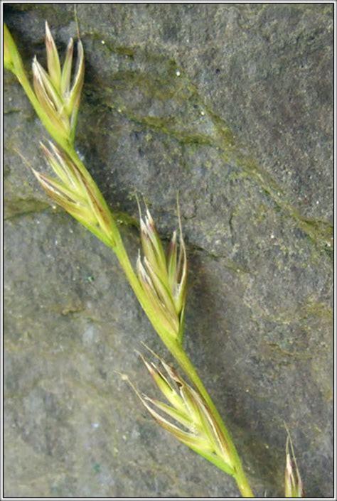 irish grasses lolium  boucheanum