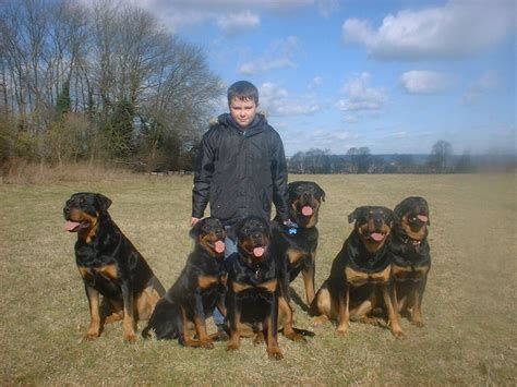 roan rottweiler rottweiler for sale uk photo