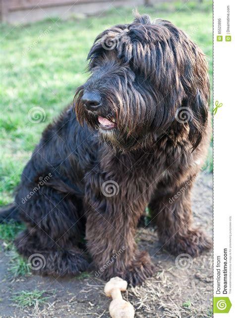 sheepdog mixed with golden retriever pink an sheepdog golden retriever mix stock photo image 85523895