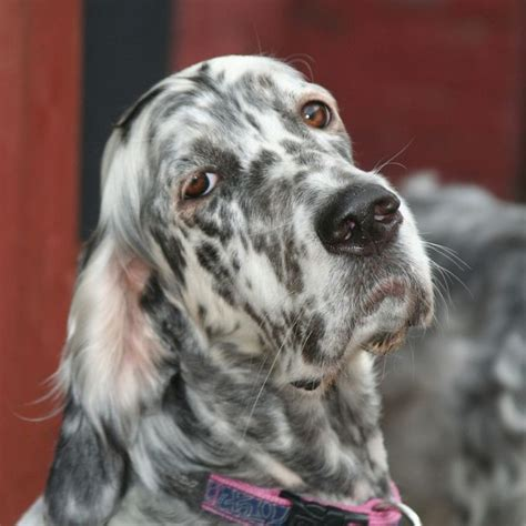 setter gun dog training best 25 english setters ideas on pinterest english