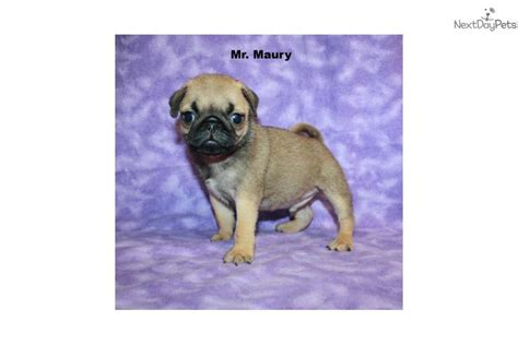 pug puppies ny pug puppy for sale near island new york a6ff2a47 4101